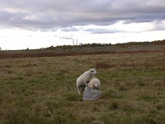 DSCN6658 (Hunter-Desportes) Tags: plant grass animal sex copenhagen denmark power sheep natur communication mating savannah vest ram behavior bonding amager courtship vestamager værket avedøre