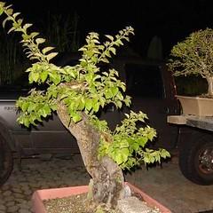 06_350 (Rock Jnior - Terra Bonsai) Tags: primavera bougainvillea bonsai