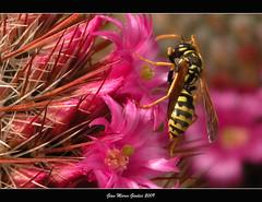 Attrazione fatale (gianmarco giudici) Tags: flowers macro colors closeup nikon vespa wasp rosa spine fiori polline platinumheartaward awesomeblossoms colorsofthesoul gianmarcogiudici