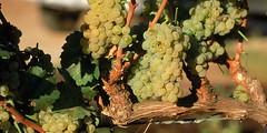 Precios de uvas blancas para vinificar caen en la primera quincena
