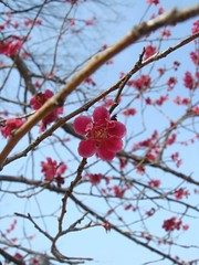 DSC07906.JPG (chinitanglatina) Tags: flowers nature japan spring ome ume yoshino plumblossoms umematsuri