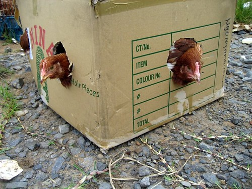 There are 13 other chickens in that box!