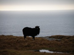 A Black Sheep with White Nose (Eileen Sand) Tags: sheep horizon faroeislands fr froyar frerne sandoy seyur