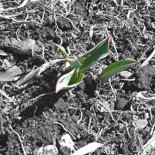 Proto Tulips