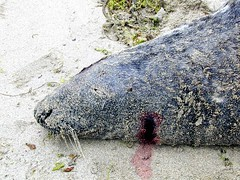 Dead seal on the beach by Seal Protection Action Group