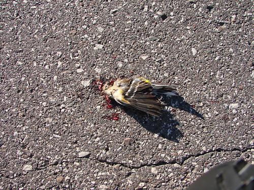 Dead Yellow-rumped Warbler