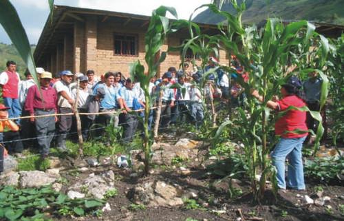 Plaga de maíz en Chota