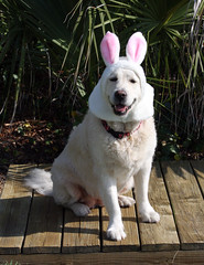 Happy Easter!  Mia Makes a Perfect Easter Bunny! (kathleenjacksonphotography) Tags: family dog holiday bunny animal easter fun funny florida humor retriever mia easterbunny happyeaster whiteenglishgoldenretriever