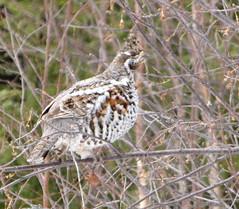Järpe / Hazel Grouse (HJsfoto) Tags: hazelgrouse bonasabonasia järpe henbird hönsfågel