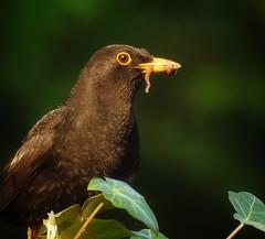 Merel met worm in bek (- - Anne - -) Tags: tuin dieren vogel merel annimal