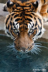 Rokan - Sumatran Tiger (Leffson Photography) Tags: nature washingtondc wildlife tiger nationalzoo sumatrantiger exoticcats bigcats fonz endangeredspecies bengaltiger blueribbonwinner canon70200mmf28l nationalzoowashingtondc allrightsreserved canonxti endangeredcats flickrbigcats photocontesttnc09 marleneleffson leffsonphotography marleneleffson allrightsreservedmarleneleffson causeanuproar