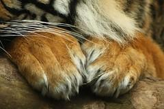 IMG_9283 (Girlypie04) Tags: stripes tiger sumatrantiger edinburghzoo