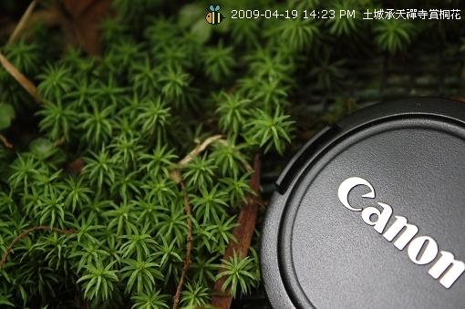 09.04.19 一探土城承天寺桐花花況 (18)
