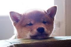 [フリー画像] [動物写真] [哺乳類] [イヌ科] [犬/イヌ] [子犬] [柴犬/シバイヌ]     [フリー素材]