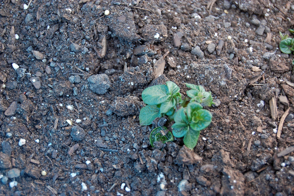 Potatoes 042209-01