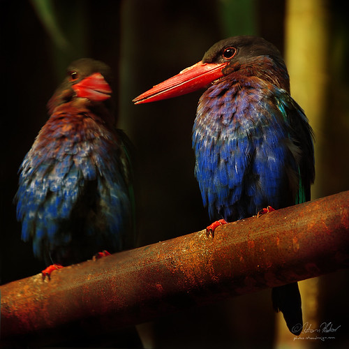 different types of kingfisher bird photos