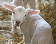 Awwww a baby ewe (lynne_b) Tags: baby nature animal zoo illinois spring farm straw ears newborn lamb creature ewe wheatonillinois cosleyzoo nananananana hopeitsagoodone todayisyourbirthday gonnahaveagoodtime