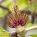 Cuore peloso di magnolia
