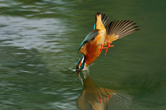 High-speed Nosedive (Nature Wind (Eric)) Tags: bird nature moving nikon wildlife wing taiwan kingfisher common avian coth specanimal mywinners platinumphoto theunforgettablepictures platinumheartaward goldstaraward goldenheartaward vosplusbellesphotos micartttt perfectactionshot