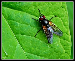 fly-t-less (2) (ihughes22) Tags: macro fly insects closeups icu vosplusbellesphotos superbestshotsonflickr