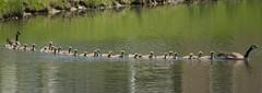 octo goose