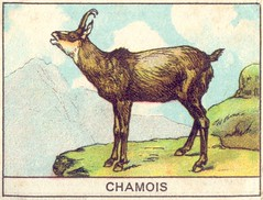 mart chamois