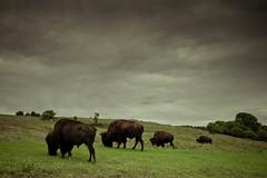 bison (mattsawyer77) Tags: oklahoma nature sunrise landscape buffalo wildlife reserve wichitamountains ok bison grazing