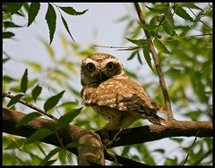Spotted Owlet (Athene brama) stares back in Sultanpur Bird Sanctuary, India (Saran Vaid) Tags: wild india bird nature beautiful beauty birds fauna canon scary dangerous eyes asia glare nocturnal searchthebest bokeh wildlife birding beak feathers feather evil sigma aves safari owl spotted prey elegant 1001nights soe superstition animalplanet sanctuary quill spotting birdofprey omen bornfree birdsanctuary sighting haryana potofgold owlet quills sultanpur spottedowl spottedowlet athenebrama flickrsbest mywinners abigfave canoneos400d sultanpurbirdsanctuary avianexcellence sultanpurnationalpark flickrestrellas rubyphotographer sigma150500mm vosplusbellesphotos sigma150500mmf563dgoshsm worldclassnaturephotoni