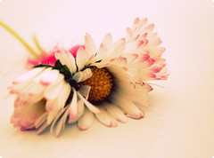 Little pink daisies / EXPLORED! (Niamh..) Tags: lyrics bathtub damienrice pinkribbon flowerscolors explored littlepinkdaisies