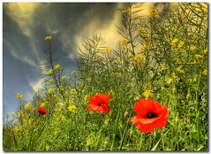 A Splash of Colour (Martyn Starkey) Tags: blue red yellow poppies naturesfinest