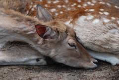 Damhirsch im Ouwehands Dierenpark Rhenen (Ulli J.) Tags: zoo fallowdeer damhirsch rhenen daim ouwehandsdierenpark
