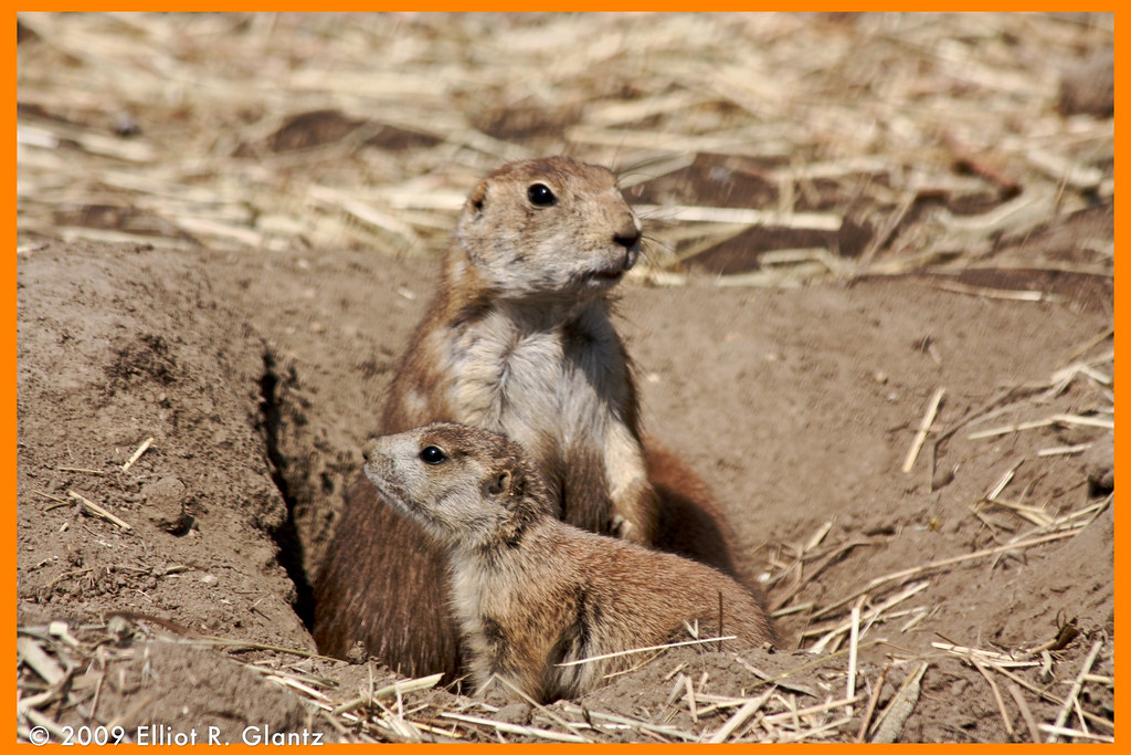 Baby Prarie Dogs -