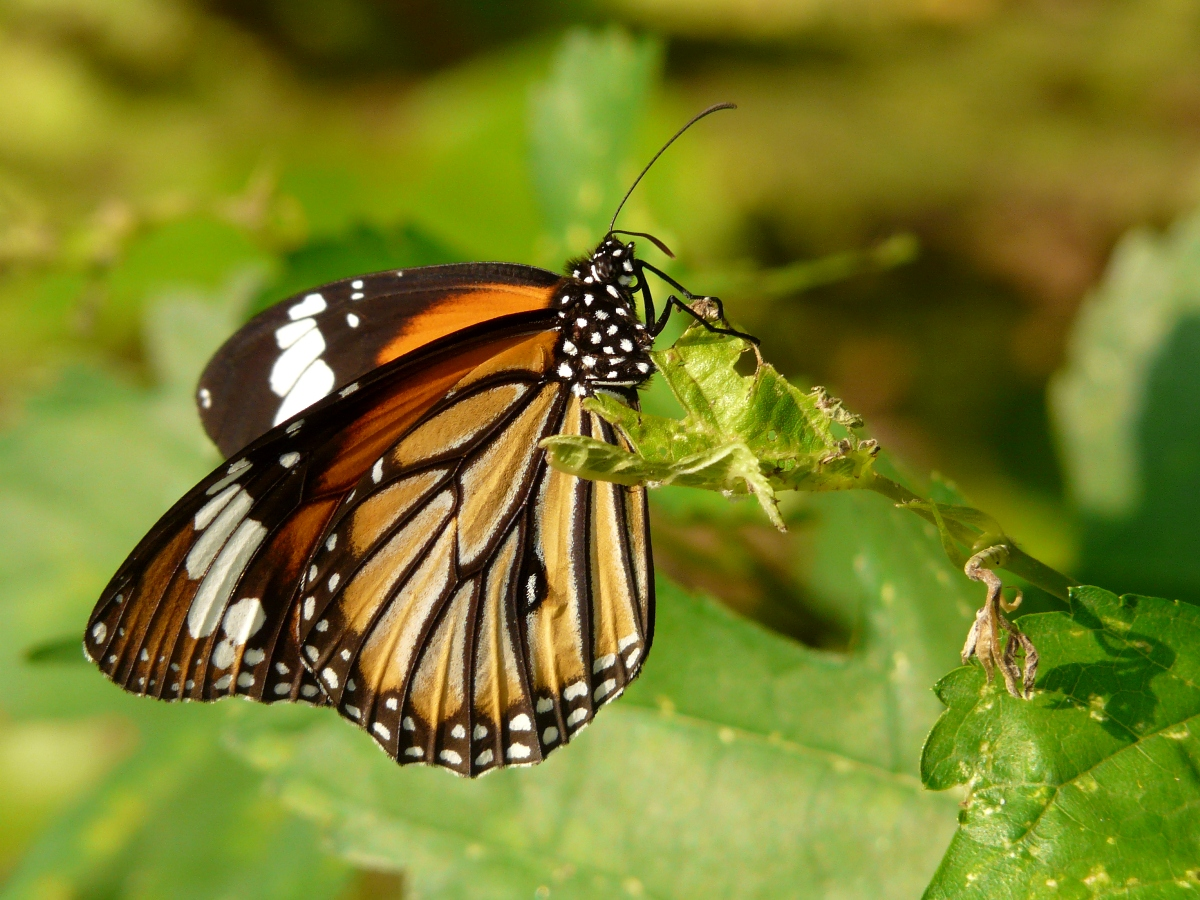 Common Tiger (Danaus genutia) - 黑脈樺斑蝶