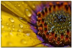 Flowers power water (Tempete2pixel) Tags: france flower macro colors beauty fleurs eau couleurs jardin nancy lorraine botanique printemps soe deau av gouttes gouttesdeau macrophotographie abigfave impressedbeauty