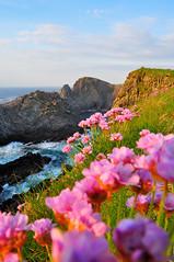 Cionn Mhlanna (Malin Head) (Ronan.McLaughlin) Tags: ocean blue ireland sea white bird nature water birds nikon marine wildlife cliffs atlantic thrift shore maritime donegal malinhead d90 irishwildlife