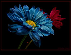 Untitled (elisabeth adams) Tags: flowers blue light red stilllife macro floral fleur closeup dark petals gerbera ms gerberas onblack floralart naturesfinest masterphotos floralphotography floridaphotographer floridaphotography artaslife awesomeblossoms grouptripod artofimages seasonsmagic elisabethadams thebestofcengizsqueezeme2groups