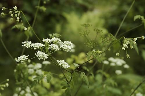 Chaerophyllum temulum | Dolle kervel - Rough chervil