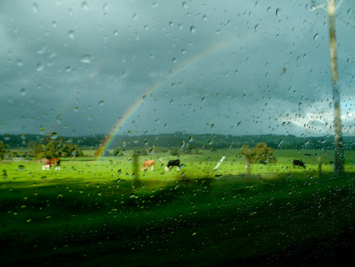 rainbow and cows