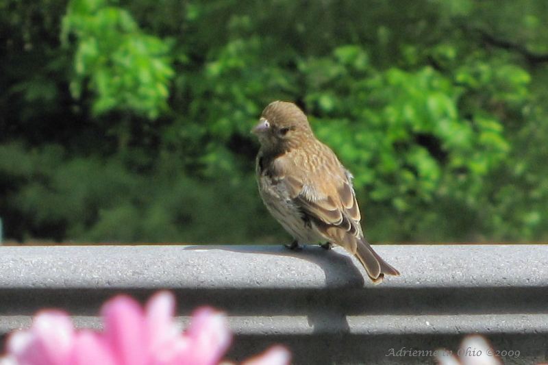 female housefinch photo by Adrienne in Ohio