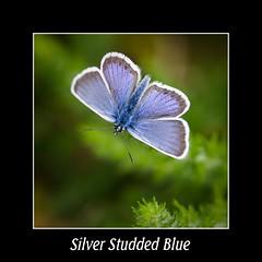 Plebejus argus (Male) (DJLDorset (Takin' a break for a while)) Tags: nature insect wildlife dorset plebejusargus silverstuddedblue mordenheath davidlongshaw