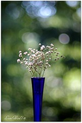 "A ""Breath"" of Bokeh (Flutterbye_856) Tags: flowers blue stilllife flower bokeh tiny cobalt babiesbreath allrightsreserved lovemy50mm bokehwhore makeswonderfulbokeh"