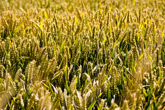 fields (pamelaadam) Tags: summer plant nature digital geotagged scotland wheat august fotolog 2009 borders thebiggestgroup geo:lat=56054829 geo:lon=2652736