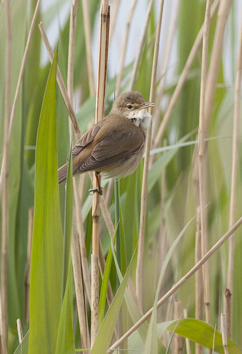 Acrocephalus scirpaceus - Reed Warbler by Ben Revell