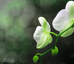 the light of things (jaki good miller) Tags: flowers light white orchid green interestingness bokeh explore exploreinterestingness jakigood top500 explorepage explored mywinners