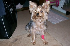 Gizzy (dadootdoots) Tags: family pets dogs yorkies