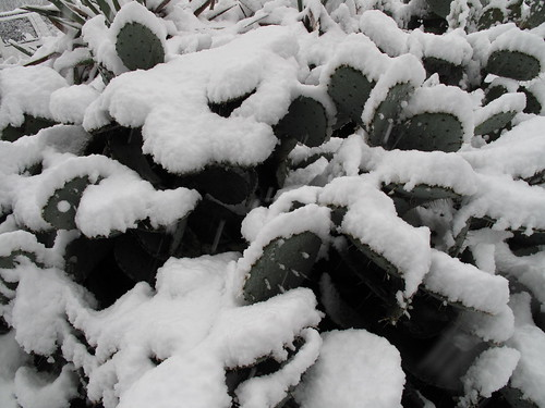 Cactus in snow.
