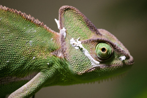 Female Yemen Chameleon