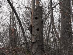woodpecker holes (jmbard1977) Tags: snowgeese middlecreekpa
