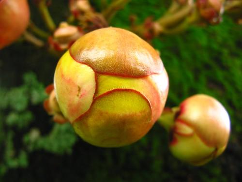 nature sprout ball botão floral closeups abricó de macaco Couroupita guianensis couroupita