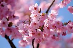 Sakura (cherry blossoms) (naruo0720) Tags: plant flower macro nature closeup nikon bokeh cherryblossom sakura d300 abigfave platinumphoto theunforgettablepictures rubyphotographer alemdagqualityonlyclub
